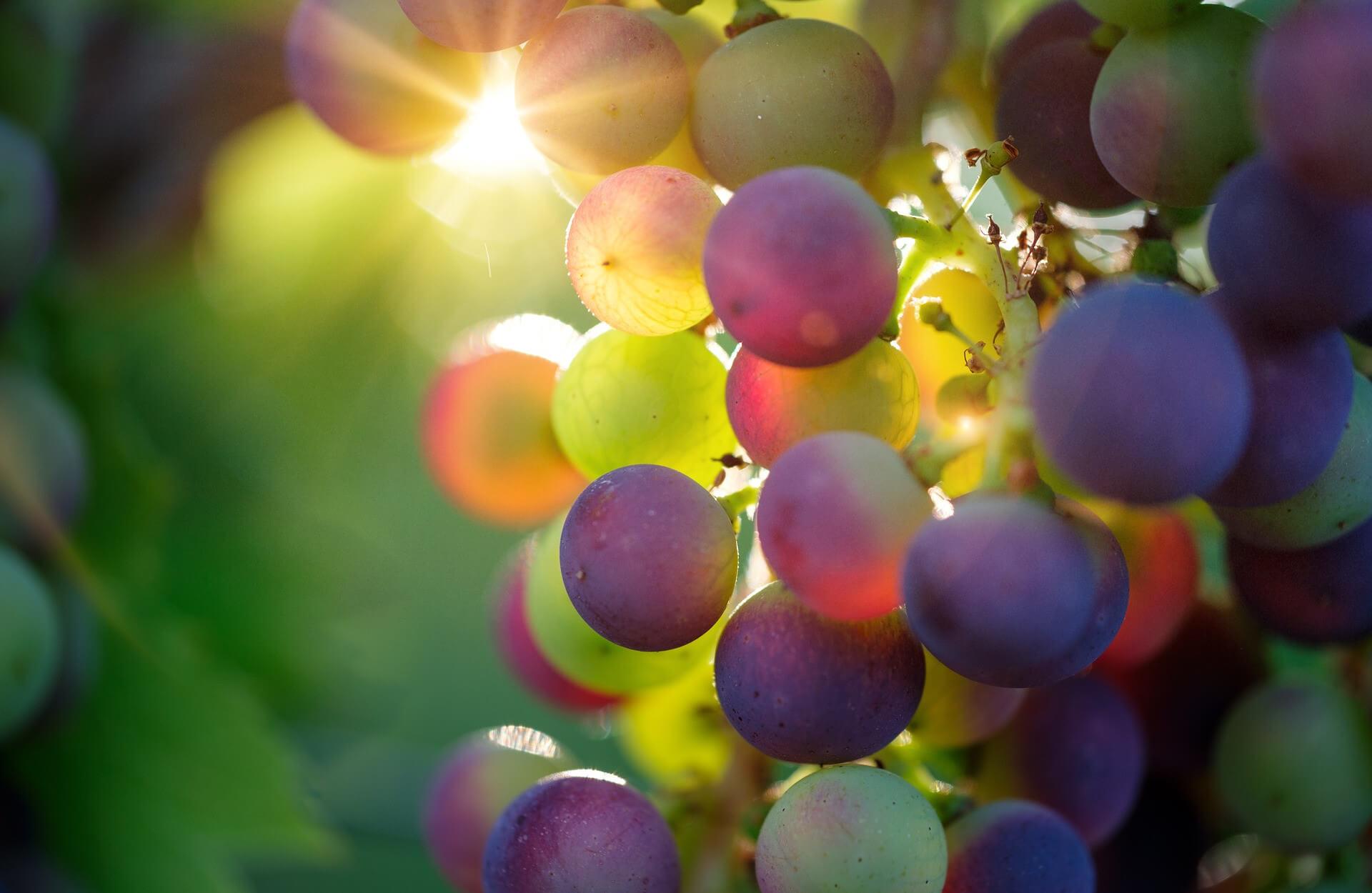 Vitamin C und OPC sind wirksame Antioxidantien gegen freie Radikale. OPC wird unter anderem aus Traubenkernen gewonnen. Fakten und Erfahrungen findet ihr in diesem Artikel.